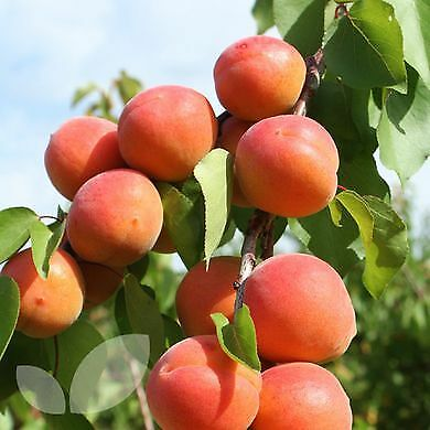RARE Apricot BIG FRUIT 3 Cuttings LIVE PLANT Scion ORGANIC not seeds BONSAI