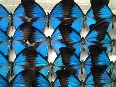 Papilio ulysses - A Lot of 5 A1 LARGE, Unmounted, Blue Mountain Swallowtails