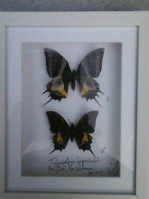 Teinopalpus Imperialis - Mounted Pair In White Shadowbox With White Matte