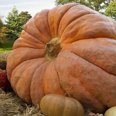 Pumpkin Dills Atlantic Giant  - 100 Larger Seeds (Imported From Usa Grower)