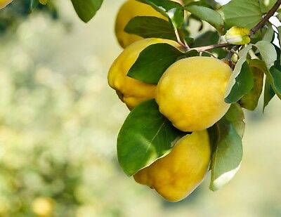 Cydonia oblonga 10 - 100 seeds Quince tree seed Free shipping