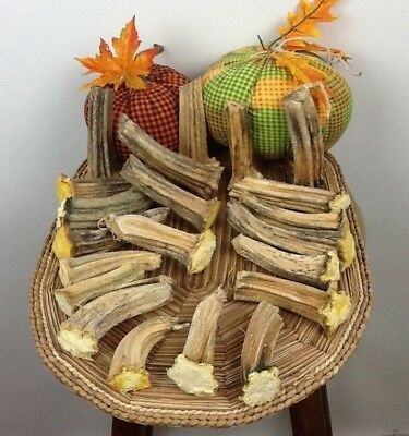 """Pumpkin Stems 20 Excellent Quality Naturally Dried 3""""- 4.5"""" Stems"""
