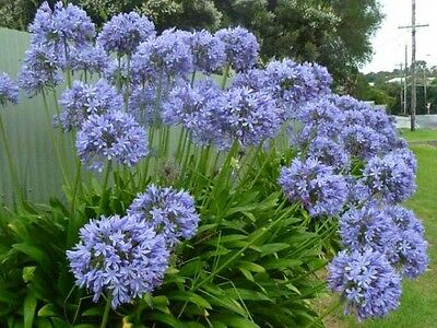 AGAPANTHUS Blue.20 X Plants FREE POSTAGE. BLUE Large Growing Variety.