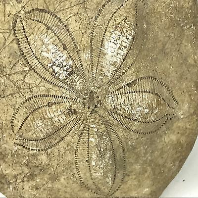 Authentic Sand Dollar Fossil Artifact #37