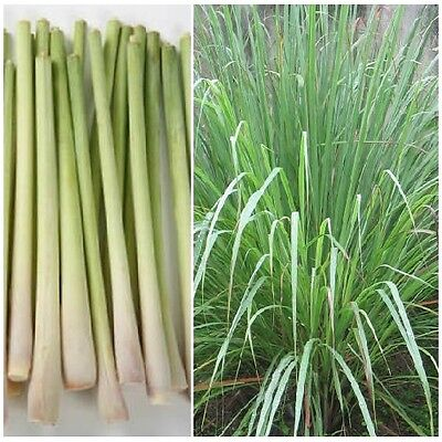 Cymbopogon flexuosus / East Indian Lemon Grass / 1000 Seeds