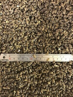 500 Small Dubia Cockroaches Livefood Roaches Cricket Alternative