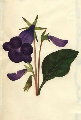 Circle of Mary Delany, Brazilian Gloxinia Flower - Original 1840s plant collage