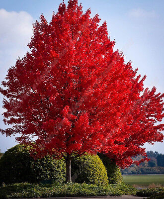 Red Maple Tree Seeds (Acer rubrum), 25 seeds