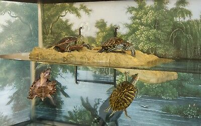 Zoo Med Floating Aquatic Turtle Dock one small and one medium comdo