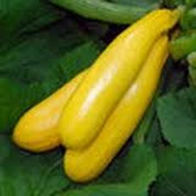 Squash, Golden Zucchini Squash Seed, Organic, NON-GMO, 25 Seeds per Package.