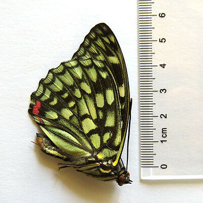 COLLECTION unmounted butterfly Nymphalidae Polyura nepenthes CHINA A1