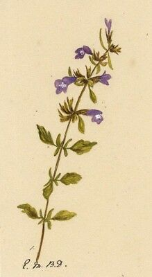 Elsie M. Dudley, Basil Thyme Flower Calamintha Acinos -1883 watercolour painting