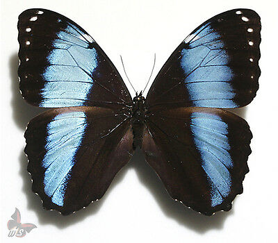Morpho achilles/helenor,Unmounted butterfly