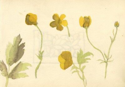 Pickford Robert Waller, Buttercup Flowers - 19th-century watercolour painting