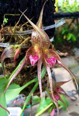 Bulbophyllum hampeliae