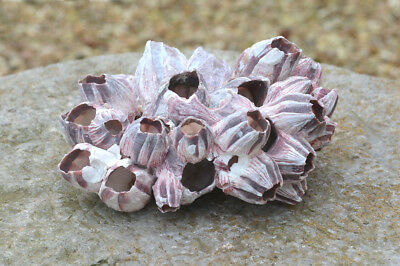 Large Real Purple Barnacle Cluster | 16 cm | Aquarium Ornament - FREE DELIVERY
