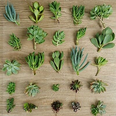 25x MIXED SUCCULENT CUTTINGS. Free postage. ECHEVERIA - CRASSULA -SEDUM