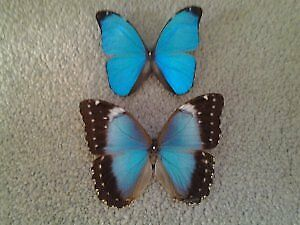 A1 Pair of Morpho menelaus, Unmounted, Fresh, Deep Blue M & F ( Guyana )