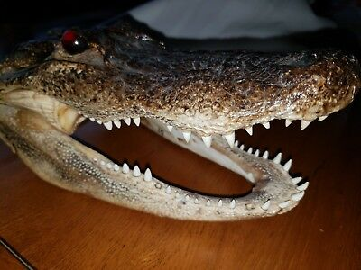 Alligator head taxidermy