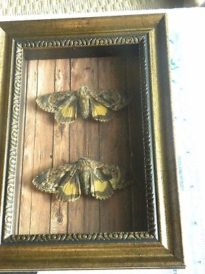 REAL FRAMED BUTTERFLY  MOUNTED SHADOWBOX lot ART GIFT INSECT taxidermy