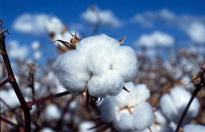 25 WHITE COTTON Gossypium Seeds USA Seller Shipper Best Price
