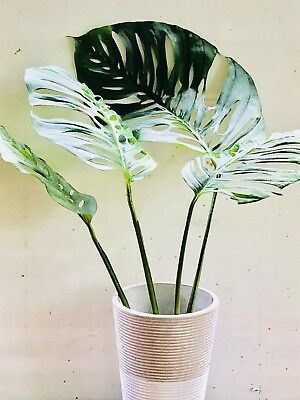 Monstera Adansonii ~ Swiss Cheese Plant ~ Houseplant