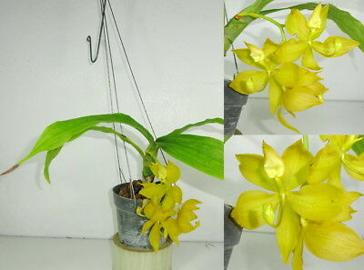 CYC.JUMBO COOPER x CYC.CAPPUCCINO Blooming size, Strong Fragrance, Orchid Plant