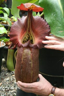 NEPENTHES ROBCANTLEYI, INTERMEDIATE --- 5 semi / 5 seeds