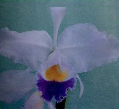Cattleya Trianae Var Corrulea Colombian Orchid 3997 Picclick