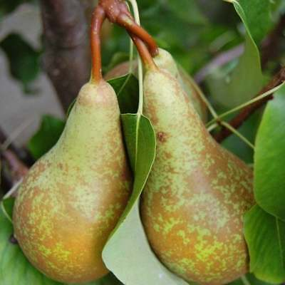 RARE Live Plant CONFERENCE PEAR 3 Cuttings PRE ORDER Receive in September