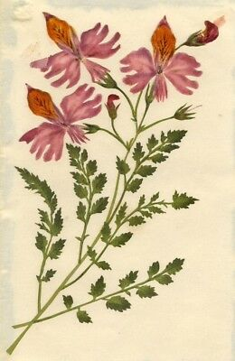 Circle of Mary Delany, Butterfly Flower - Original 1840s plant collage