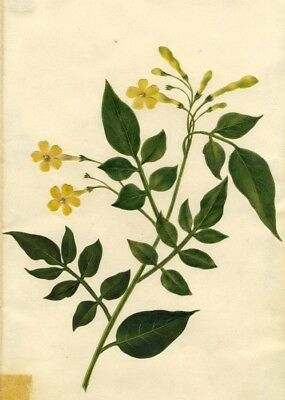 Circle of Mary Delany, Winter Jasmine Flower - Original 1840s plant collage