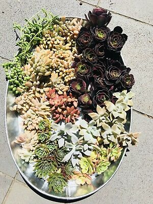 "50 succulents cuttings "" Free Postage"" Big Size 1kg Pack"