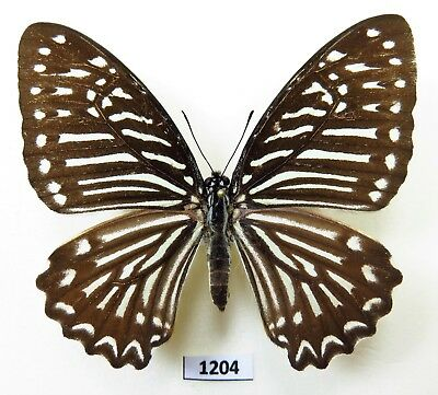 WHOLESALE green 50 unmounted butterfly Nymphalidae Graphium chironides  A1 A1