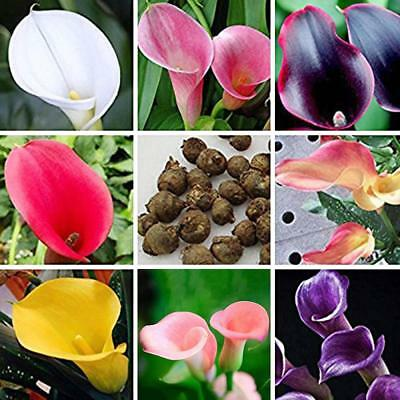 100PCS Rare Colorful Calla Lily Flower Seeds Home Garden Plants Seed Bonsai Top