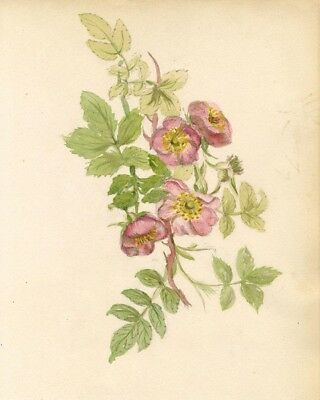 Adelaide L. Haslegrave, Dog Rose Flower - 1880s watercolour painting
