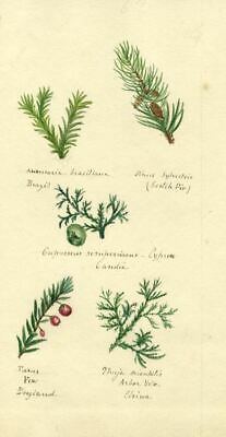 Helen Gifford, Evergreen Leaves and Fruit - Original 19th-century watercolour