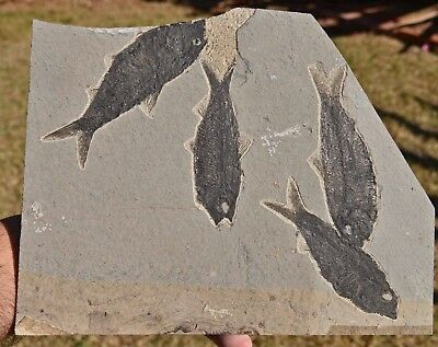 Fossil Fish Plate, Knightia eocaena, Green River Formation,Wyoming, U.S.A. #1