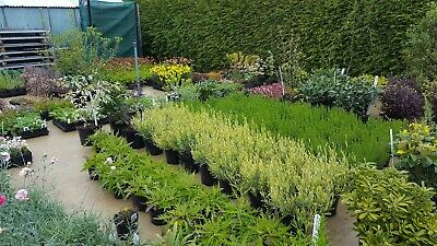 Quality home grown tasty herbs - All supplied in 1 litre pots