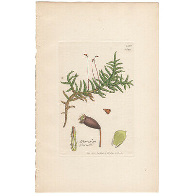 Antique 1841 Sowerby hand-colored engraving Pl 1528 Neat meadow Feather Moss