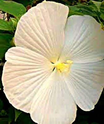 20 White Texas Star Hibiscus Seeds 400 Picclick