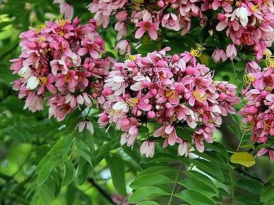 Cassia Nodosa - Pink & White - Rare Tropical Plant Tree Seeds (6)