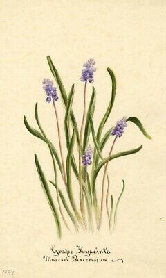Grape Hyacinth Flower (Muscari Racemosum) - Original 1896 watercolour painting