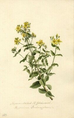 St John's Wort Flower (Hypericum Quadrangulum) - 1901 watercolour painting