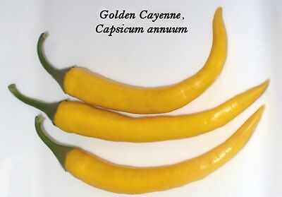 25 Semi Peperoncino piccante Varietà: Golden Cayenne hot Pepper seeds grain Korn