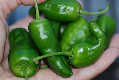 50 Semi Peperoncino piccante Varietà: Padron Green hot Pepper seeds grain Korn