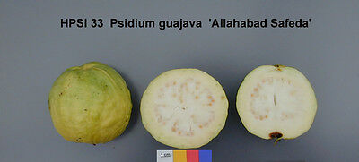 50 Semi Psidium guajava Guava Allahabad safeda Pianta tropicale Frutto seeds