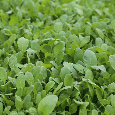 Vegetable seeds Jimaocai Pakchoi 4000 seeds Bok-choy Small cabbage 彩包原装鸡毛菜种子菜籽