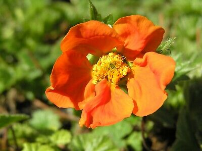 Geum coccineum 'Cooky' 1 PLANT - FREE P/P WHEN YOU BUY 3+ ITEMS