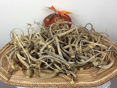 """Pumpkin Stems 100 Excellent Quality Naturally Dried Stems 3 - 6"""" Lots Of Curlies"""